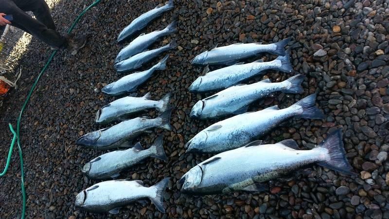Lots of Salmon