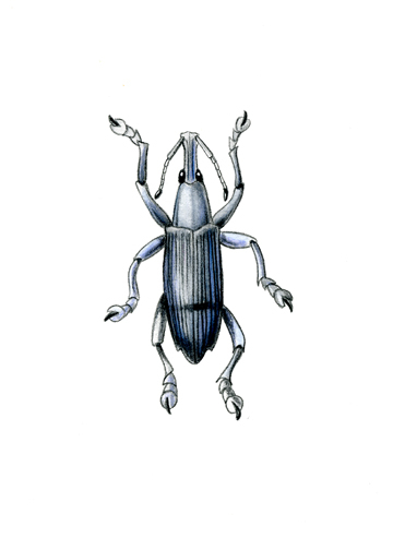 Eupholus messagieri