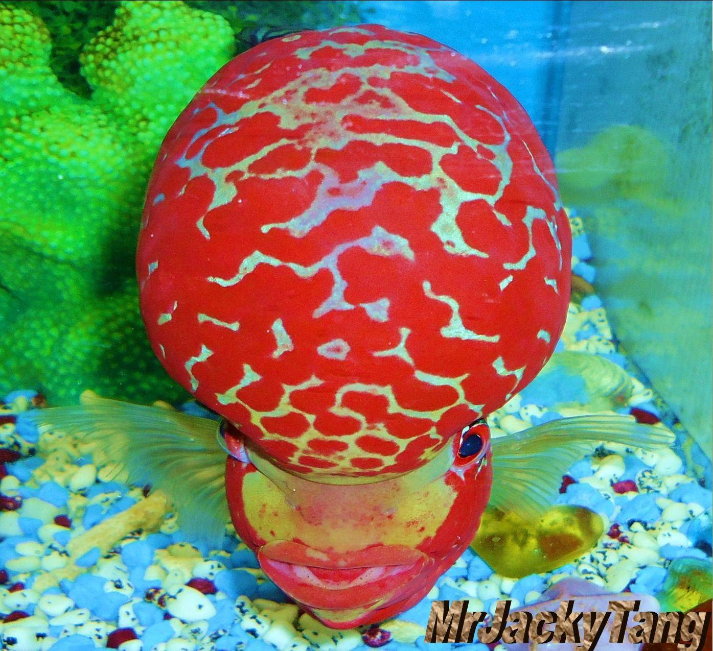 Grand Champion Winner Of The Flowerhorn Competition In Vietnam 2012 !