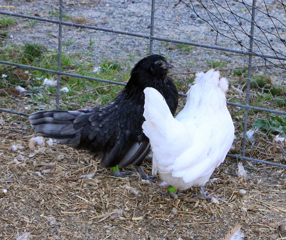 Blue and Dom White pullets