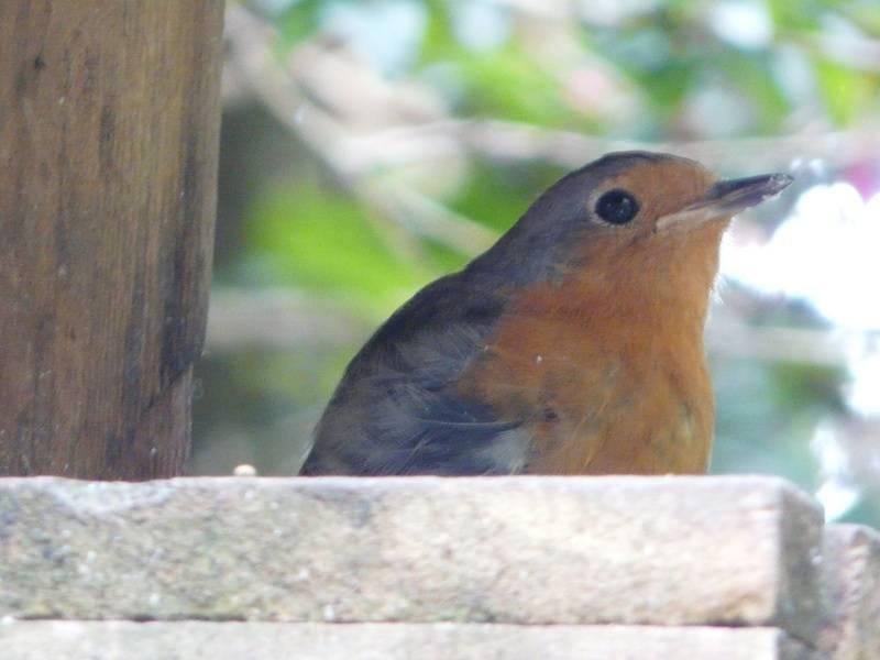 Sub adult Robin