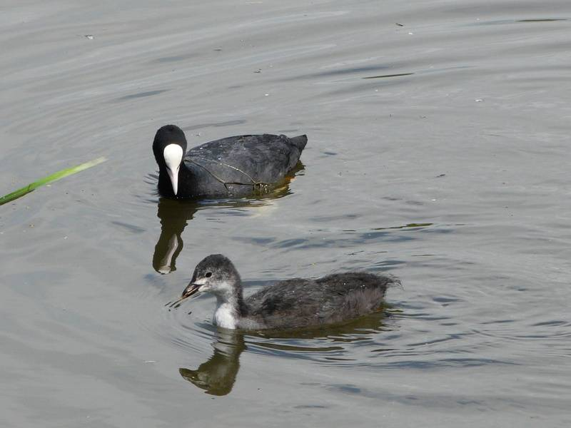 Coot with first brood chick
