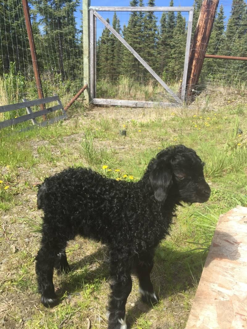 Little Dandi, our first black angora goat