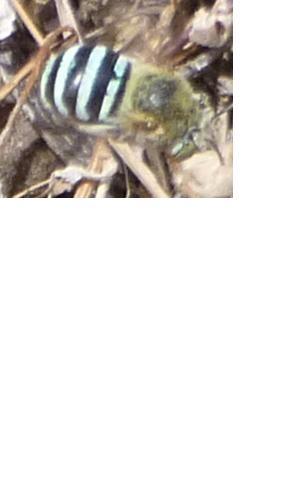 Blue Banded Bee at Barnett Block