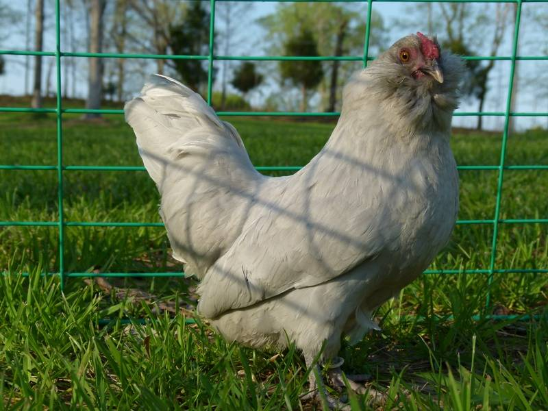 Another Selfblue pullet