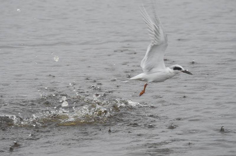 More diving terns