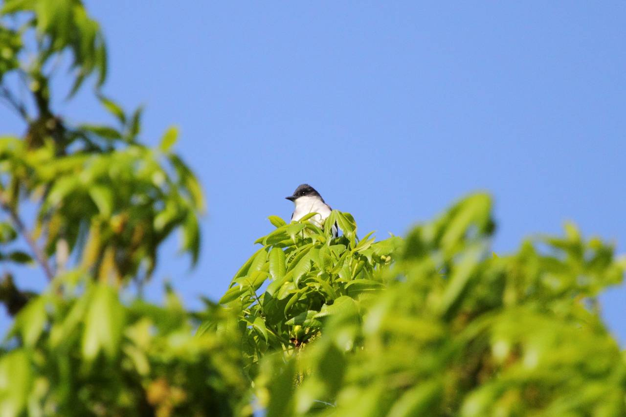 Eastern Kingbird in the Treetops above the Trap House