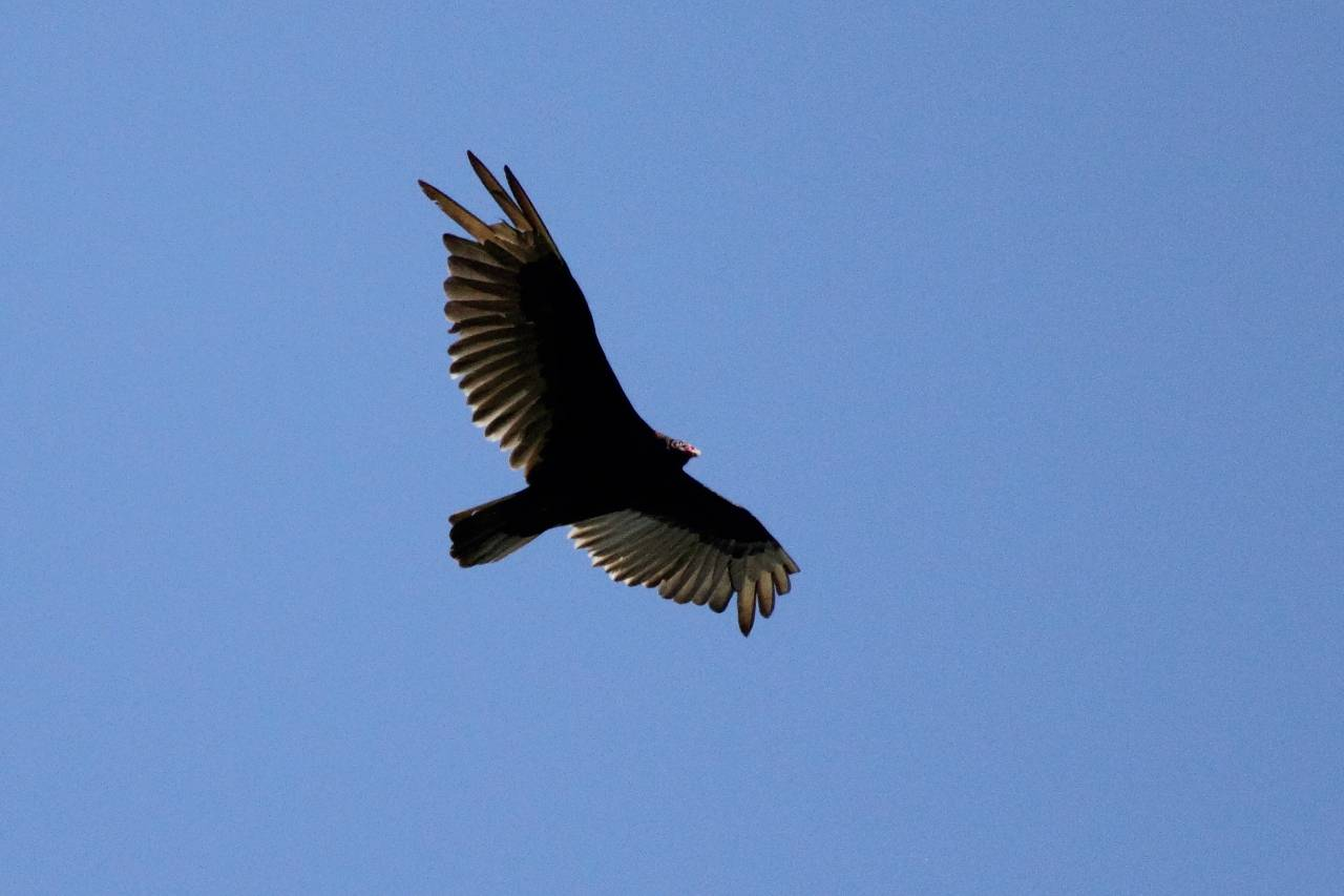 Turkey Vulture Flying Overhead