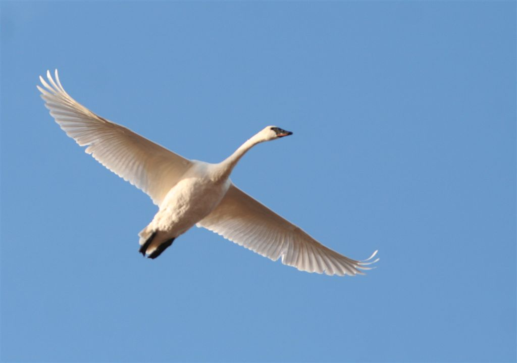 Trumpeter Swan at MAC (c) Dave Spier