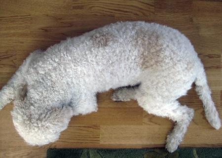 1år och 9 månader. Två tydliga fläckar på ryggen. Även lite orangefärgad päls på öron, men inget jämfört med då hon var liten.