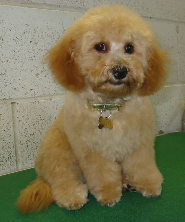 Daisy - Mini Poodle