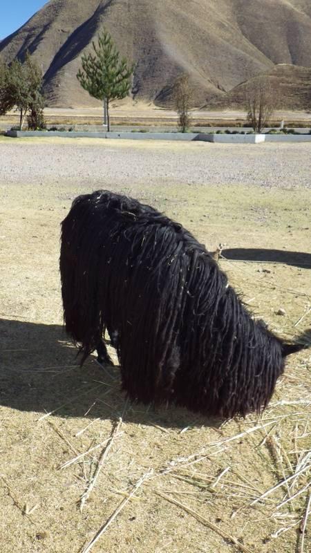 A Very Unique Black Alpacha!