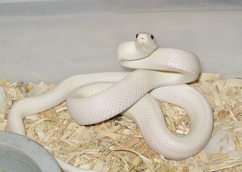 leucistic Texas Ratsnake (female)