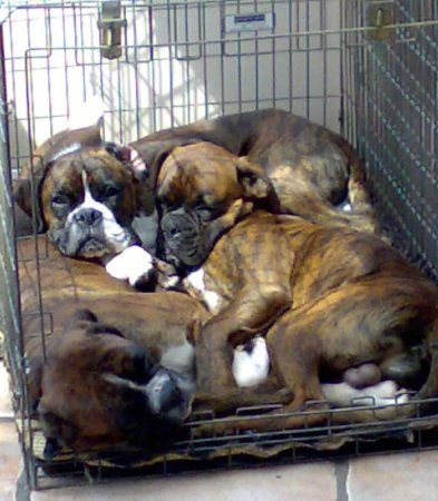 How many Boxers can you fit in a cage?