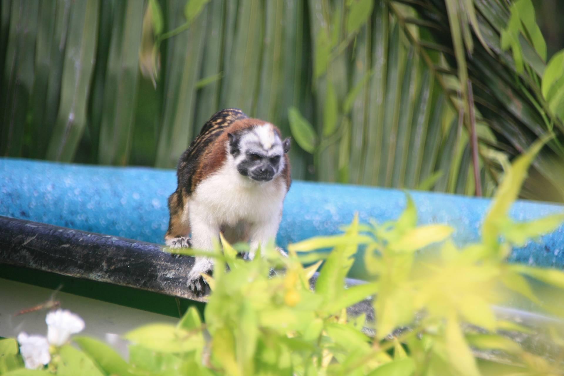 Tamarin monkey on Monkey Island near Gamboa