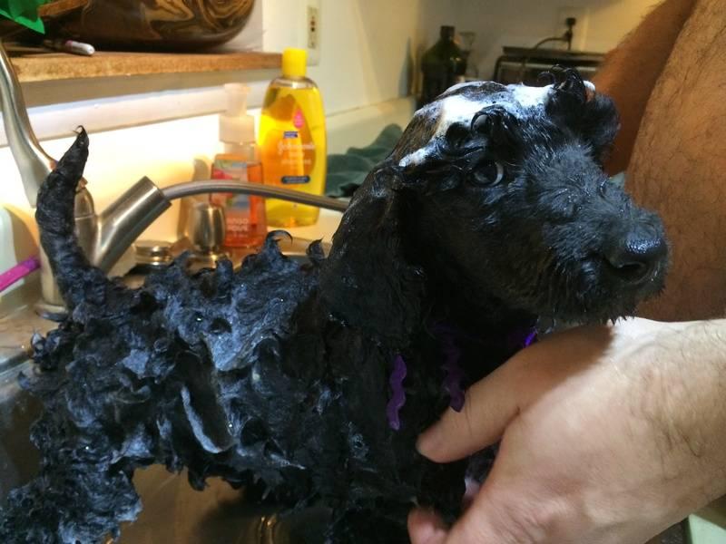 Purple getting her bath.  7 weeks.
