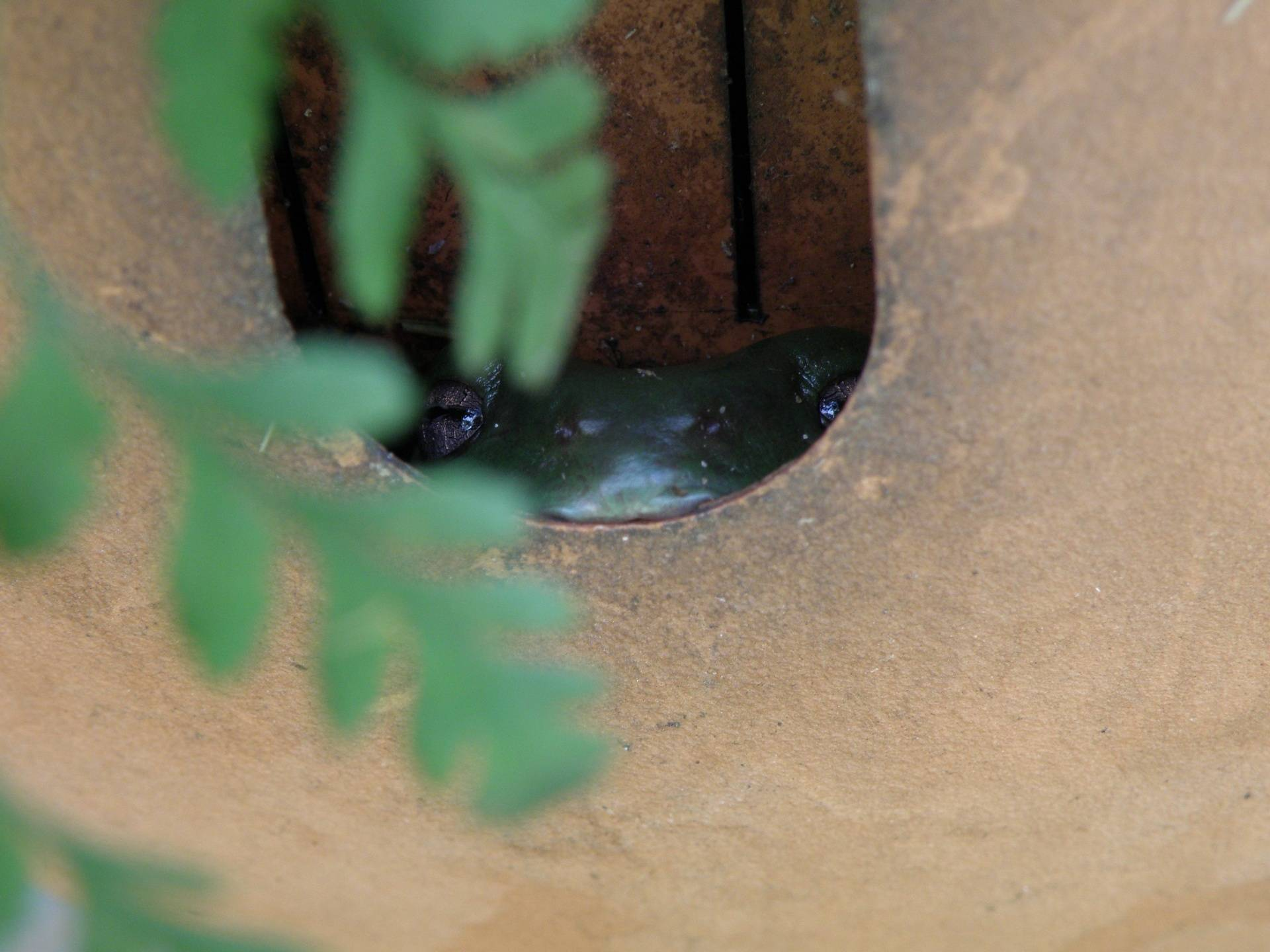 Green Tree Frog hiding in a pot