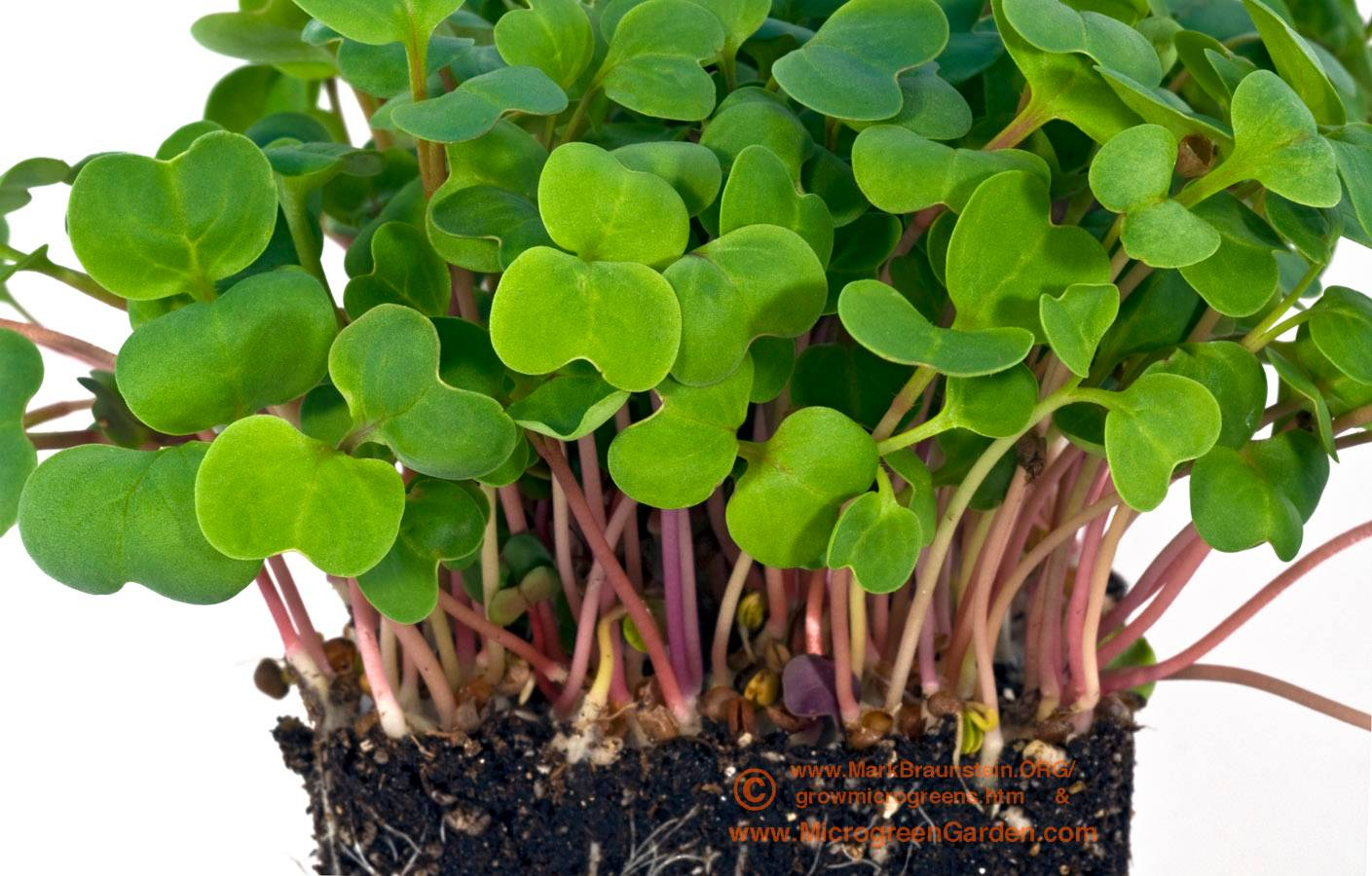 RED RADISH microgreens, 6 days since sown