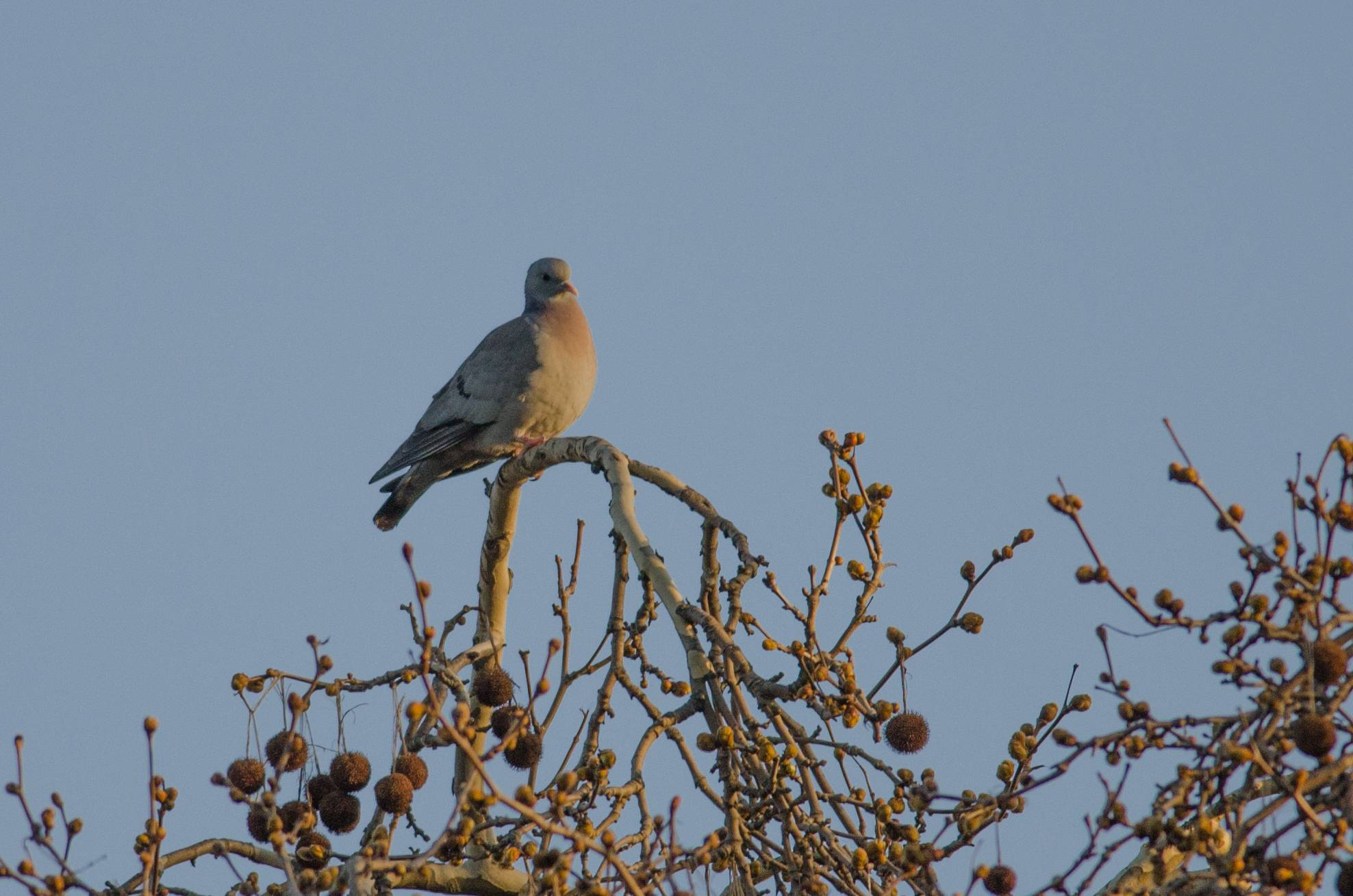 Stock Dove (Pigeon colombin)