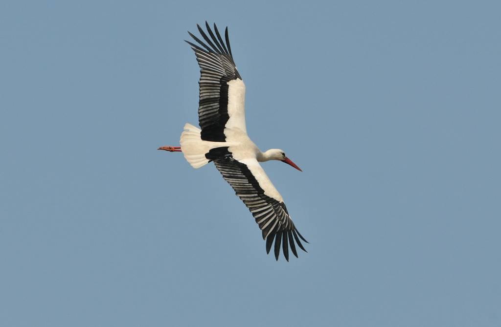 Cigogne - Stork