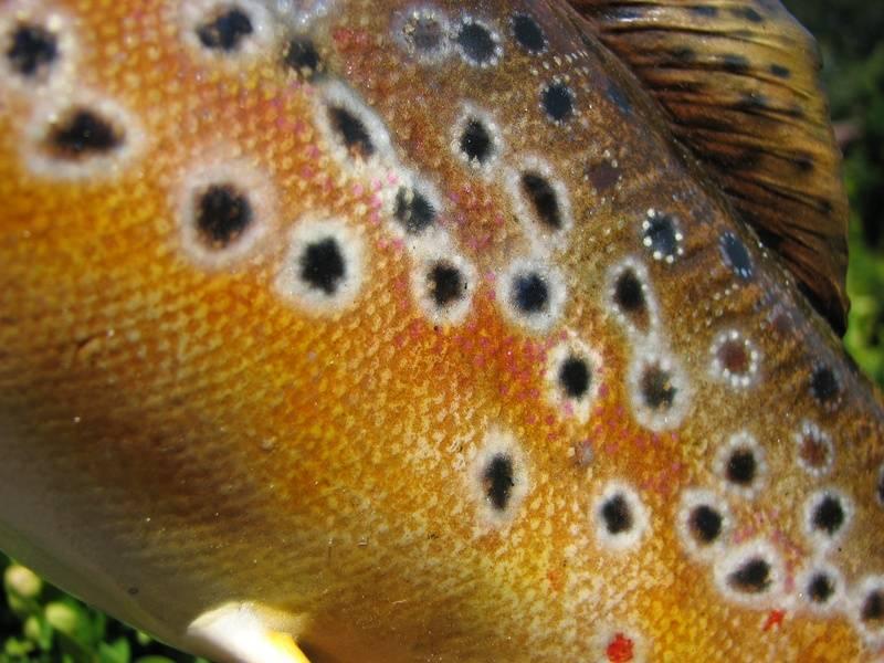 "16"" Brown trout detail"
