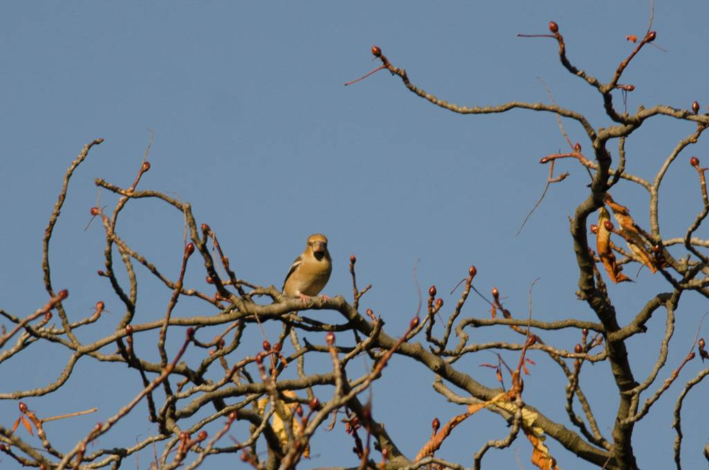 Hawfinch (Gros bec)