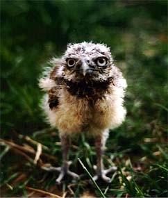 Burrowing owl chick