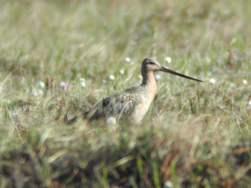 Bar-tailed Godwit  (Barge rousse)