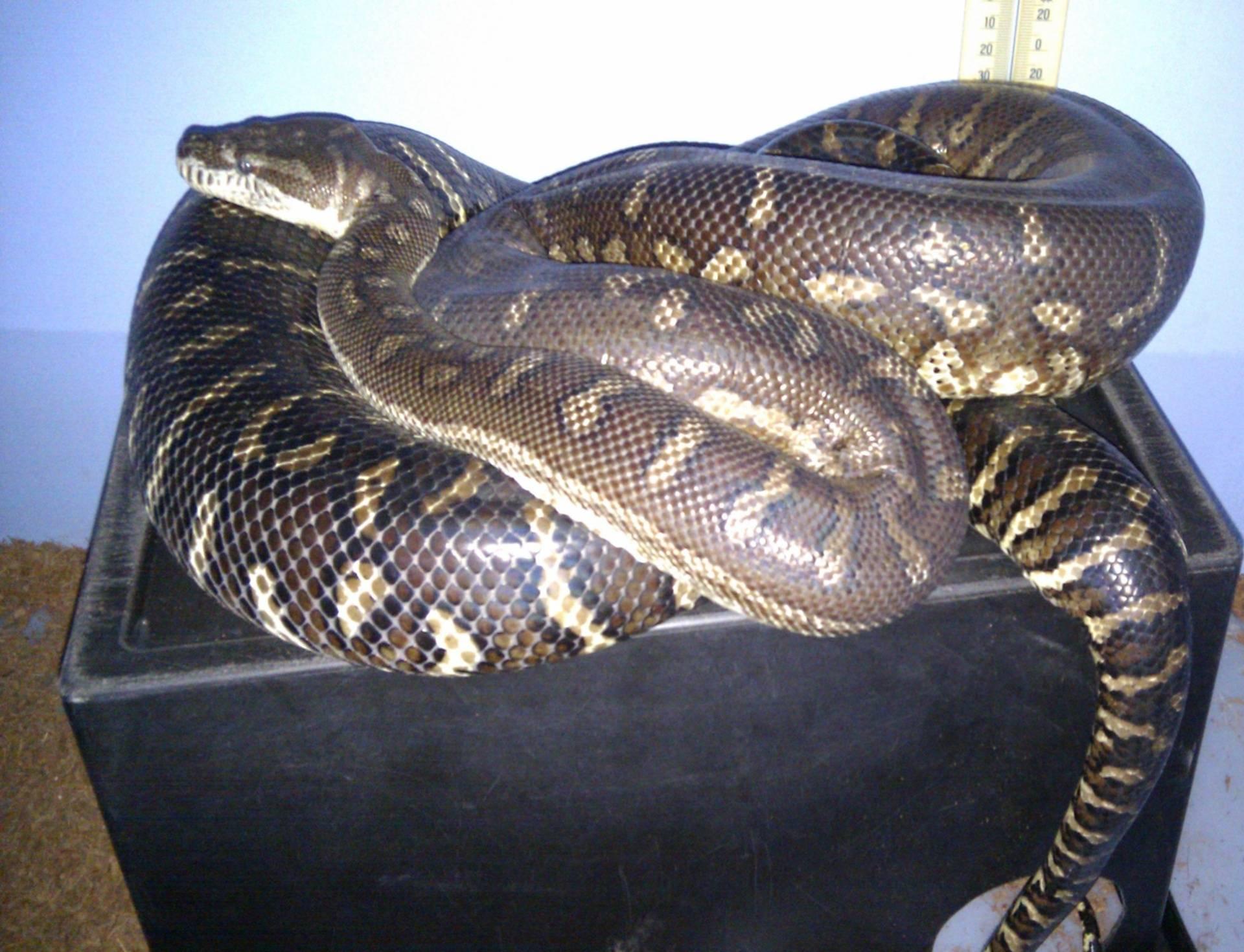 Centralian carpet Female breeder #3
