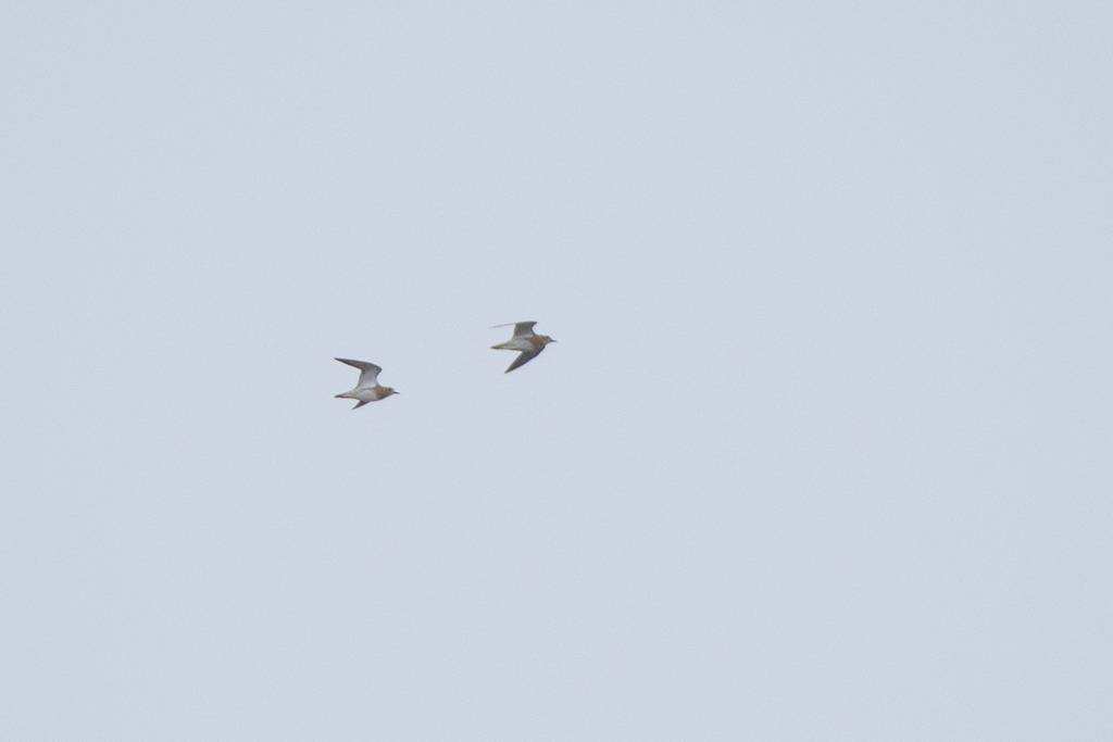 European Golden Plover  (PLUVIER DORE)