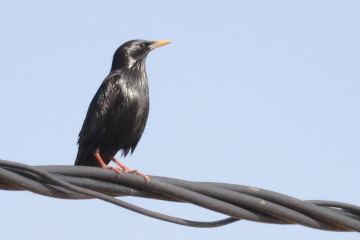 Spotless Starling  (ETOURNEAU UNICOLORE)