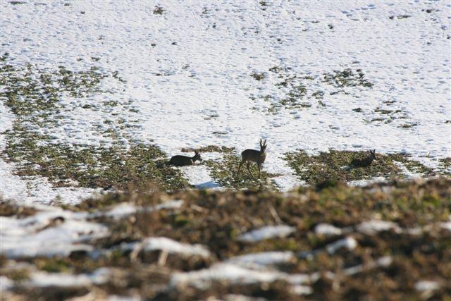 Roe deer ( Denmark)