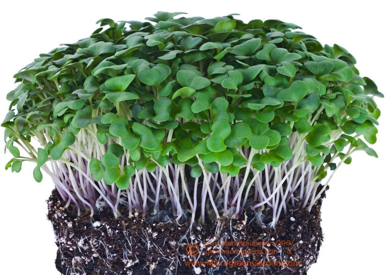 CABBAGE microgreens, 10 days since sown