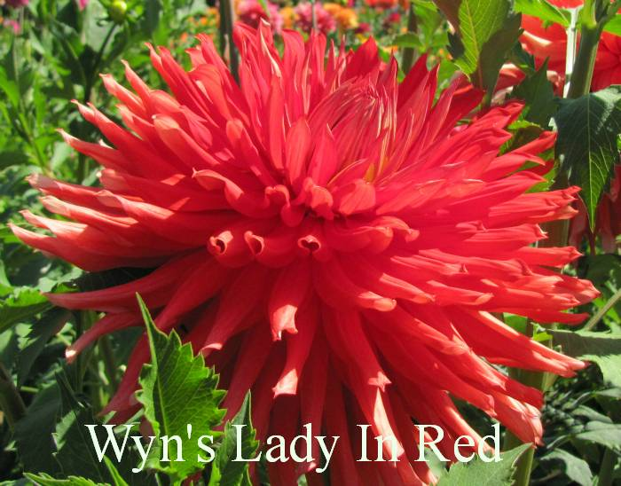 Wyn's Lady in Red A C Red