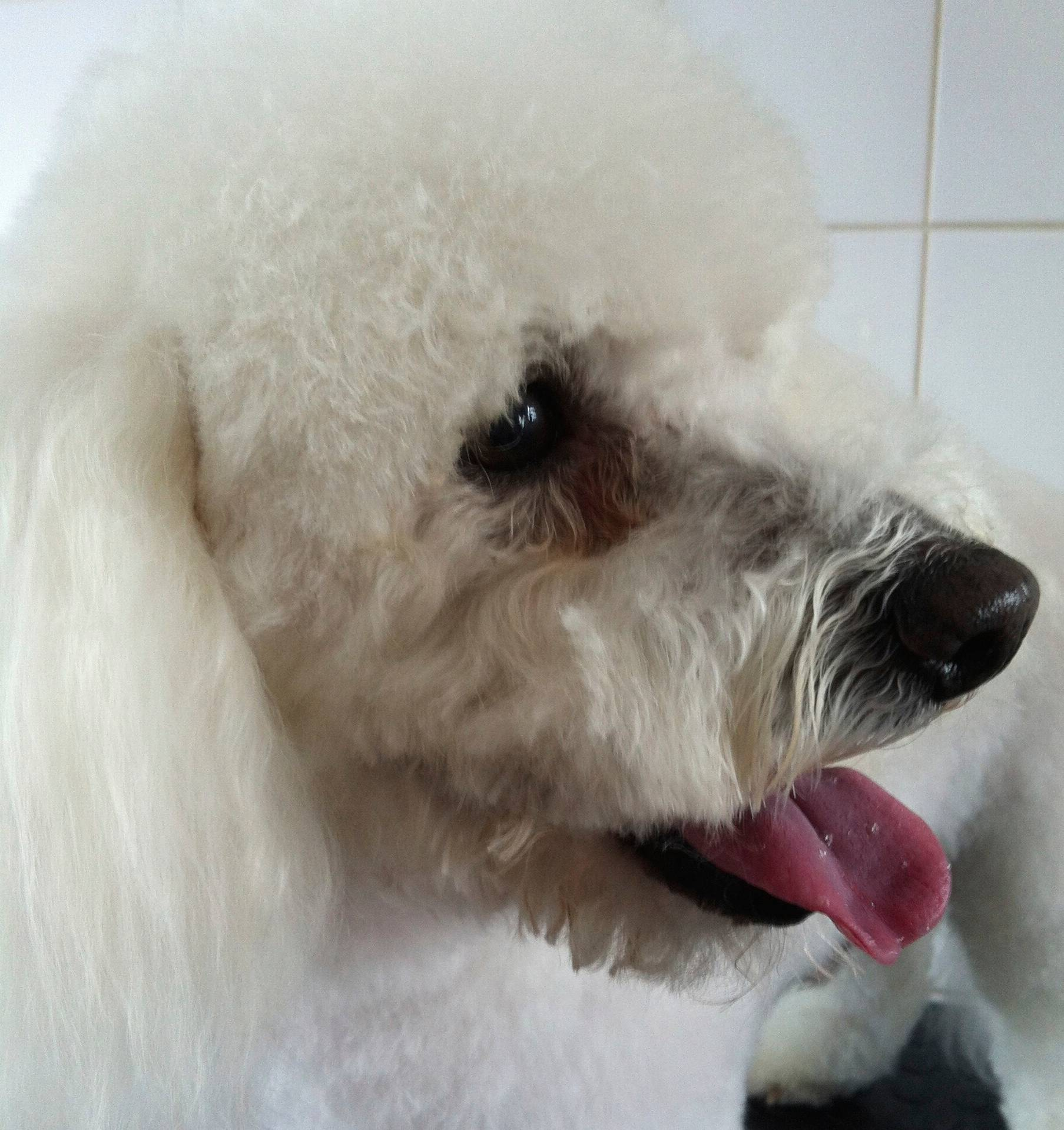 Boby - Bishon Frise. Grooming Day