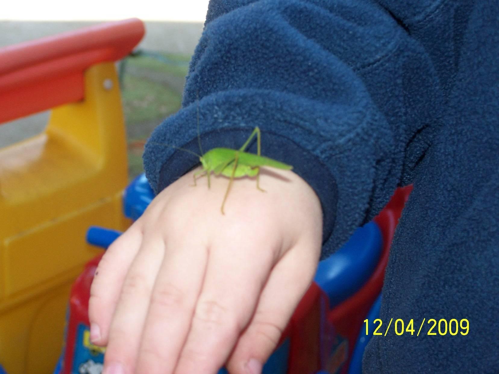 Entomology-The Green Grasshopper