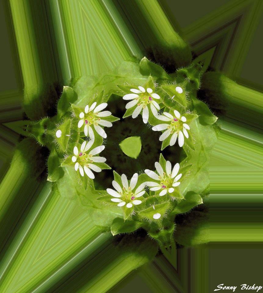 Kaleidoscope Chickweed