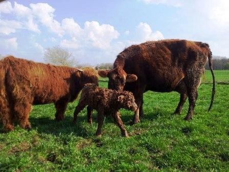 Scott of Craycombe X West Winds Gwendolyn E.T. bull calf
