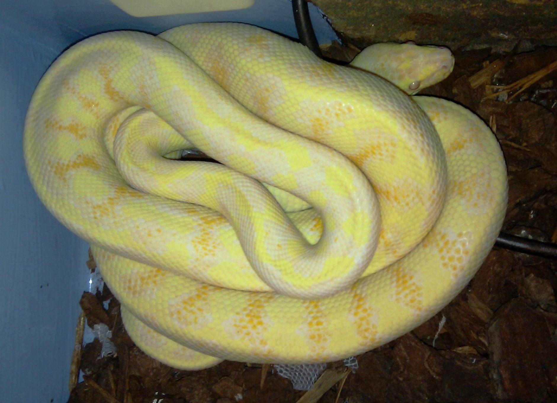 Darwin carpet Albino - 2012 Hold back - Female #4