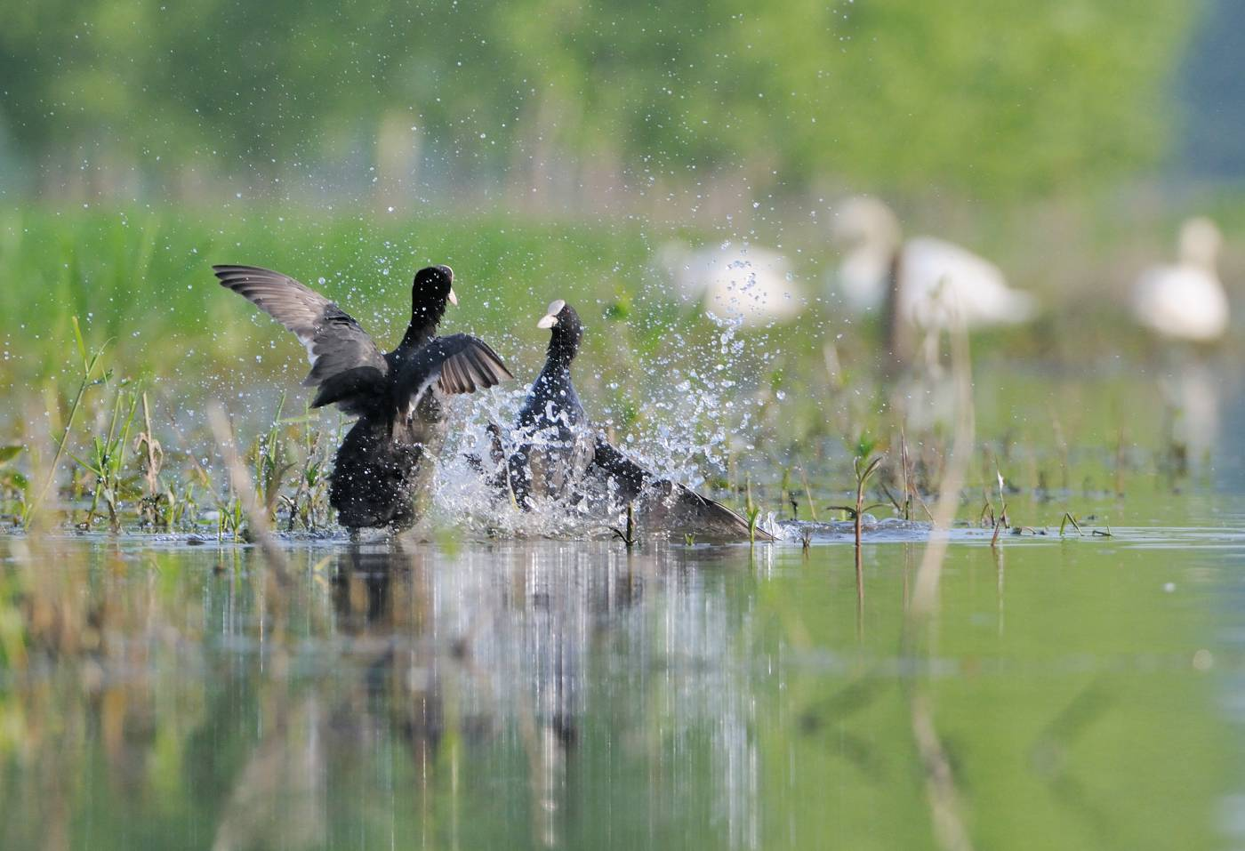 Foulques en furie 2 - Fighting coots 2