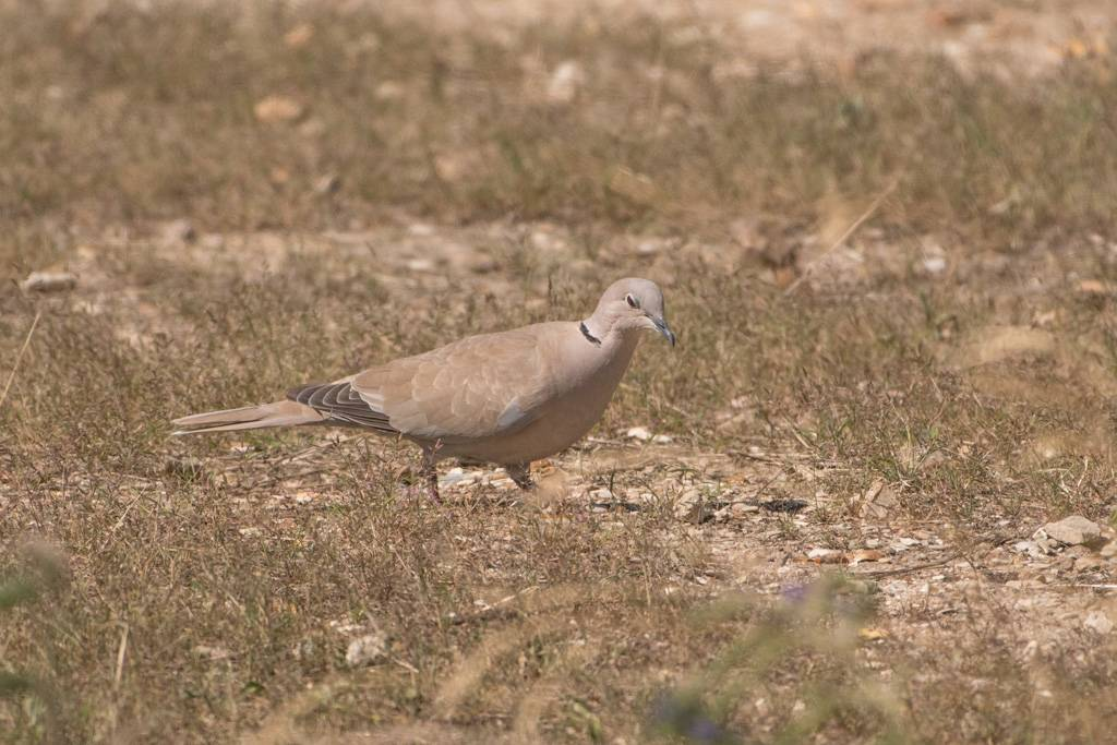 Collared Dove   (Tourterelle turque)