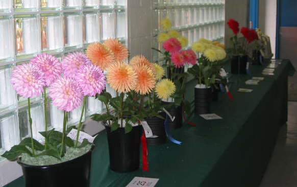 A row of 5 bloom entries-Whatcom Show '03