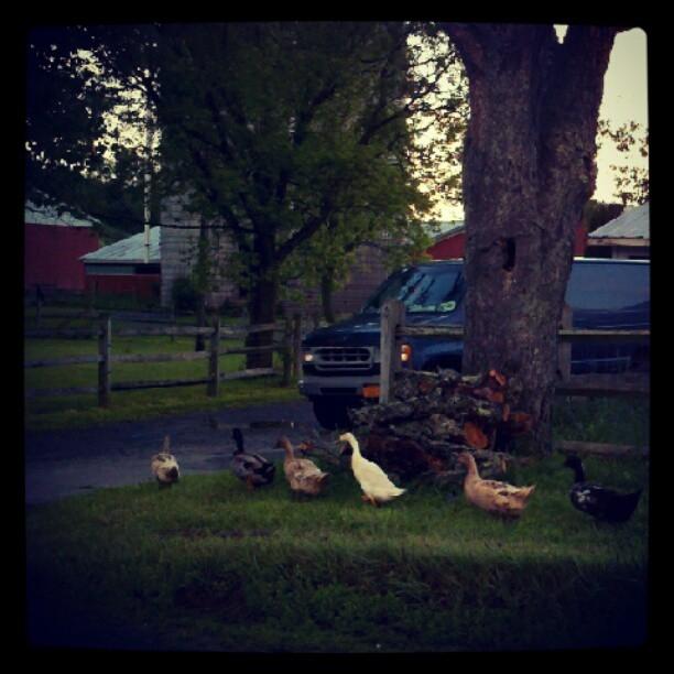 Duck Parade