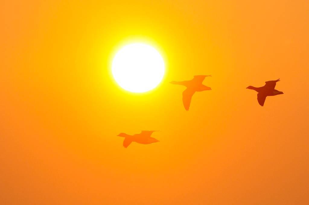 Bernaches cravant - Barnacle geese