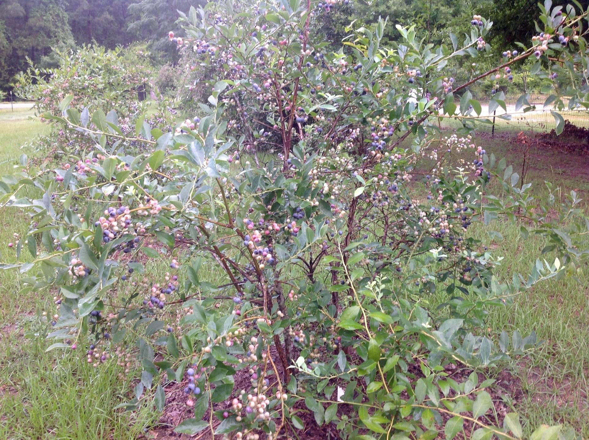 Blueberries Season @ Rayborn Manor