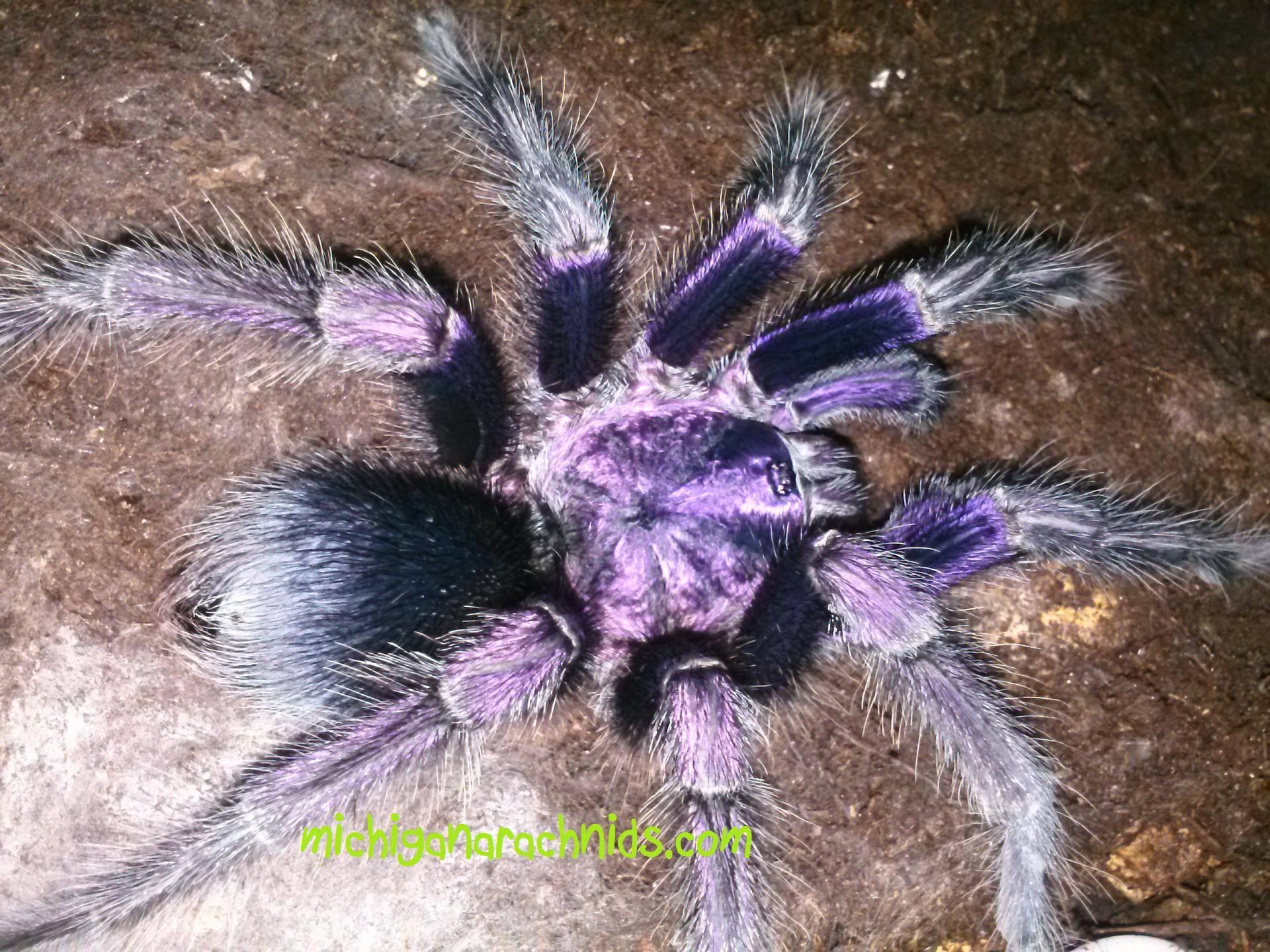 """Phormictopus sp. """"purple"""""""