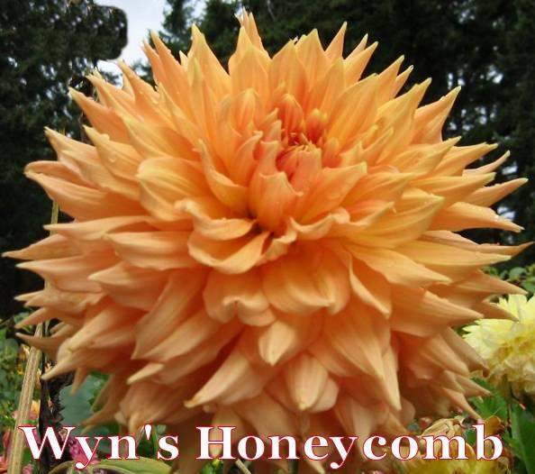 Wyn's Honeycomb-AA SC Bronze