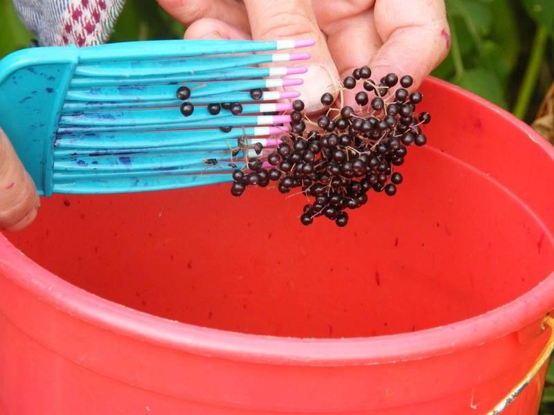 How to gather elderberries