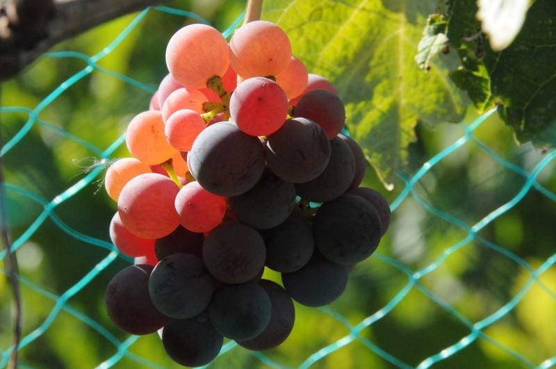 Mars grapes glowing in Sunlight