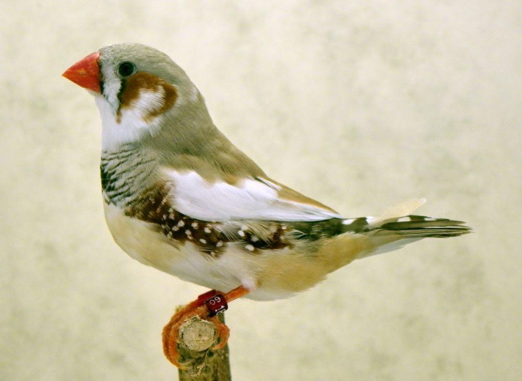 Pied Cock Bird